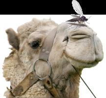 gnat-camel